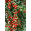 bag seeds Goji shangai Express vilmorin